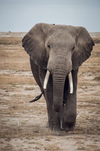 ID 2159 – L'Éléphant vexé