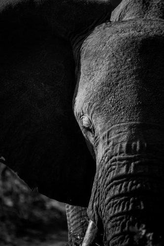 ID 2162 – Portrait d'éléphant