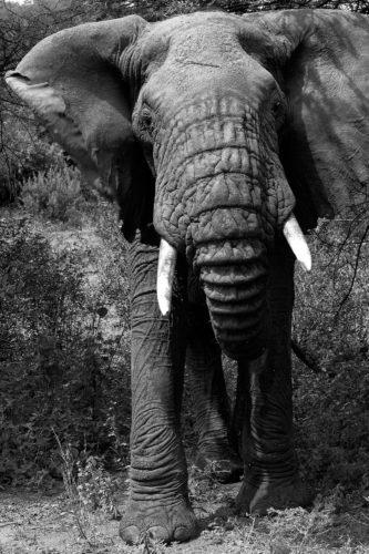 ID D17 2405 – Tanzanie-eléphant II