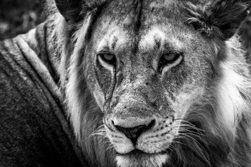 ID D17 2407 – Tanzanie-lion
