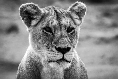 ID D17 2408 – Tanzanie-lionne