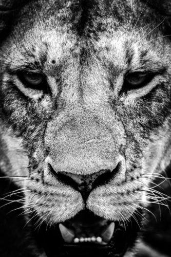 ID D17 2410 – Tanzanie-regard de lionne