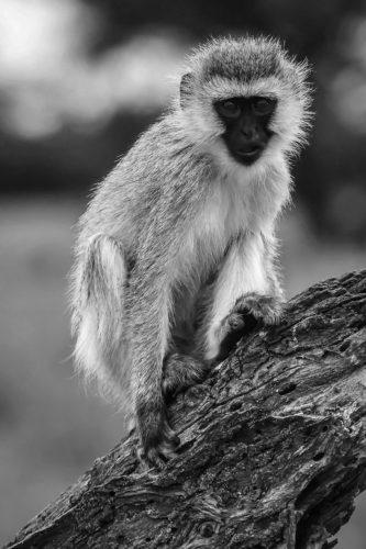 ID D17 2412 – Tanzanie-monkey