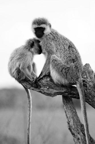 ID D17 2413 – Tanzanie-monkey 2