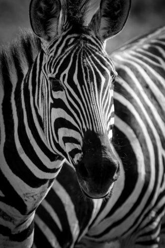 ID D17 2414 – Tanzanie-zébre