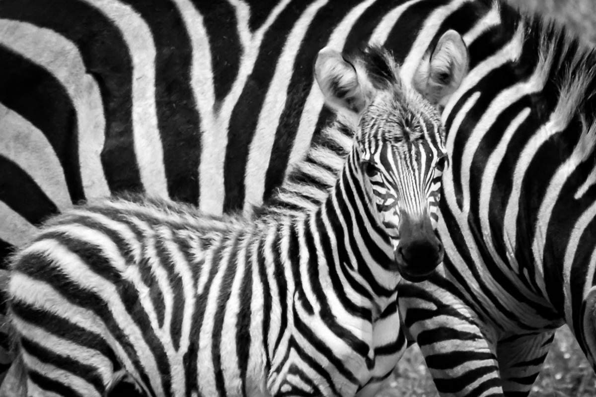 Virginie Cressot ID 2088 – Tanzanie- zébreau