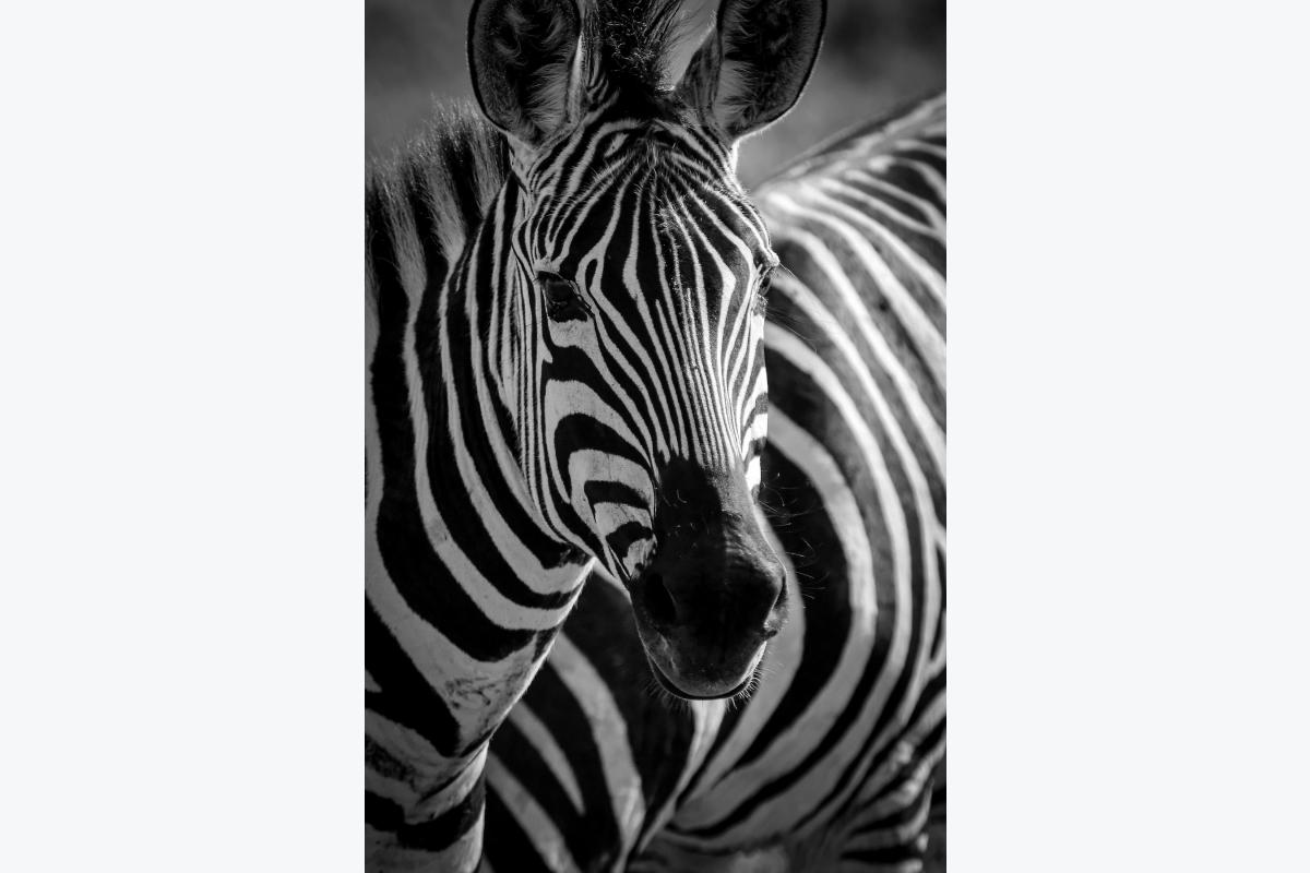 Virginie Cressot ID D17 2414 – Tanzanie-zébre